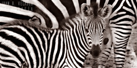 Zebra baby and its mother