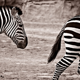 Two zebras, half and half