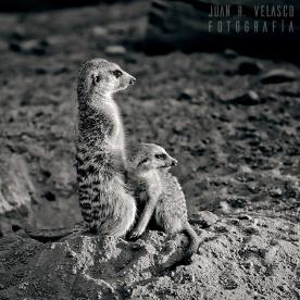 suricatas-II