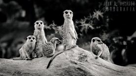 suricatas